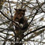Kat in de boom Juniperlaan Apeldoorn